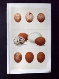 Seebohm 1896 Antique Bird Egg Print. Kestrel, Hobby, Hawk, Merlin, Falcon 04
